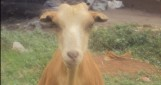 The Goat Rustlers (en développement)